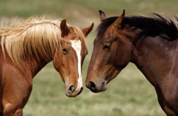 Portugees paarden - ezels en paarden